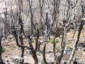 More burned trees